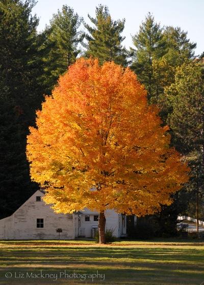 Orange foliage in New England